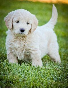goldendoodle puppies for sale in california 1000 images about dogs on goldendoodle