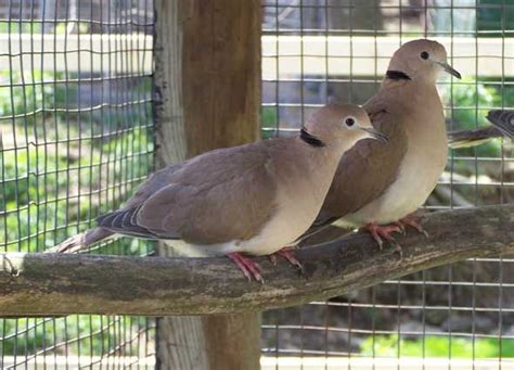 grey dove with black ring around neck 31 best images about east birds on passerine africa and cattle