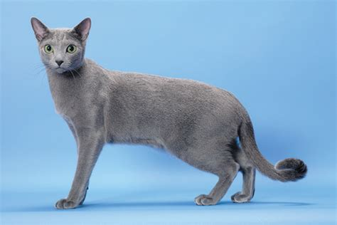 blue cats 9 reasons we the russian blue cat catster