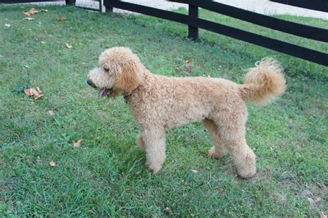 best recomendatuons for haircuts for goldendoodles goldendoodle puppies rescue pictures information