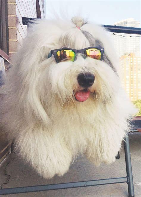 obsessed  rocco   english sheepdog