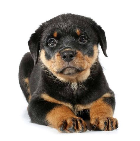 rottweiler names rottweiler names and names for rotties