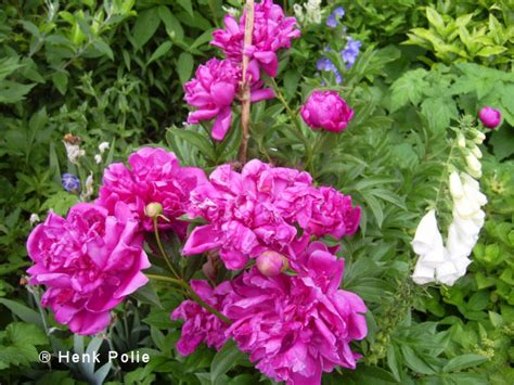 Vaste Planten Die Hele Zomer Bloeien by Pioenrozen Tuin Kalender Het Hele Jaar Door Een Tuin