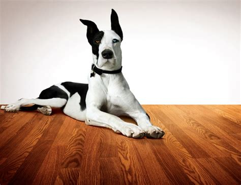pergo the dog on pergo laminate cuteness pinterest