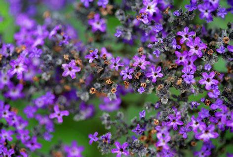 imagenes de flores llamadas violetas numerosas flores violetas