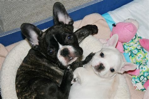 do french bulldogs need c sections french bulldog puppies for sale bullmarket