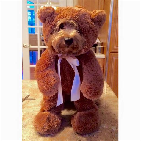 in teddy costume 10 teddy dogs that pose like a store display you would like to buy one