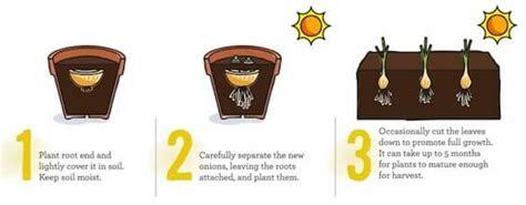cipolle in vaso come coltivare frutta e verdura in casa partendo dagli