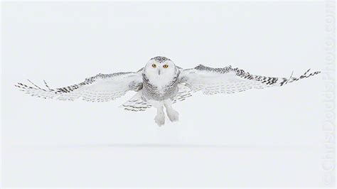 Canon Creative Park Snowy Owl - snowy owl photo tour update nature photography