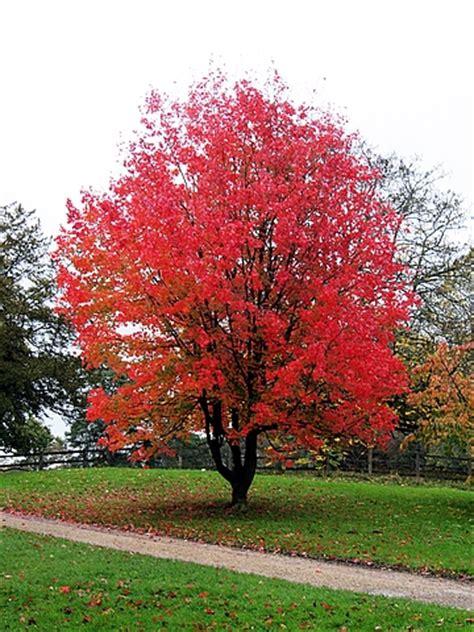 american maple tree uk крупномеры клен красный acer rubrum продажа посадка компания ооо новый лес москва