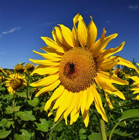 bloem boederij bloem zonnebloemen bloei in boerderij veld met blauwe