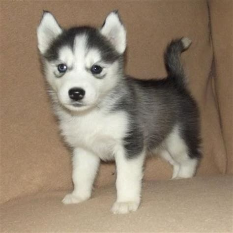 husky puppies for sale ta siberian husky puppies for adoption for sale in aberdeen breeds picture