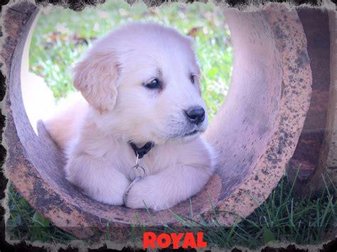golden retriever puppies peoria il k t s goldens breeders princeville il