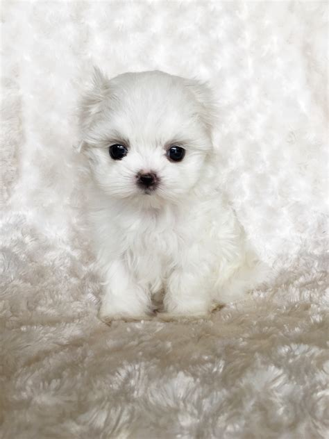 micro teacup maltese puppies for sale tiny teacup maltese puppies for sale yelp pets world