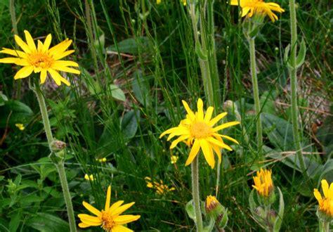 fiori di arnica arnica montana