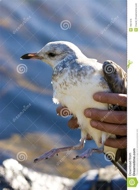 injured seagull royalty free stock image image 7667476