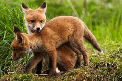 imagenes de zorros reales el ojo del buitre zorro vulpes vulpes