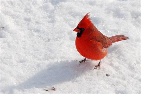 cardinal indiana s state bird