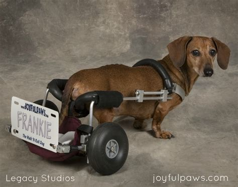 ivdd in dogs why i will continue to advocate for ivdd and wheelchair dogs joyful paws