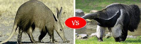 aardvark  anteater fight comparison   win