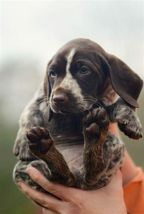gsp puppy german shorthaired pointer going to the dogs