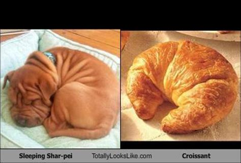 Croissant Meme - this sleeping shar pei totally looks like a croissant