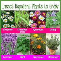 Natural Bug Spray For Plants Insect Repellent Plants To Grow My Garden Pinterest