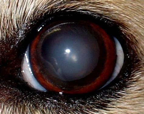 nuclear sclerosis in dogs access veterinary care cataracts