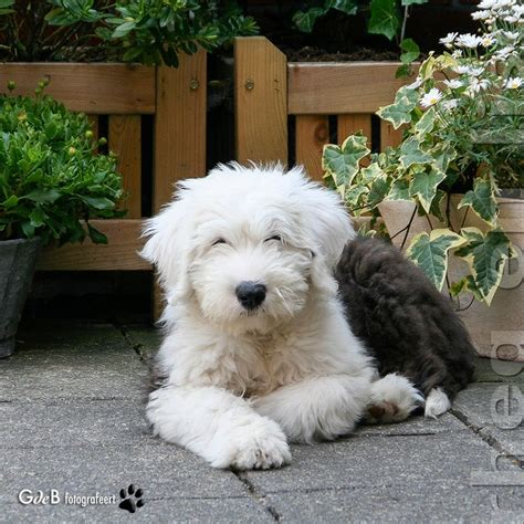 sheep doodle puppy 36 best sheepadoodle images on doggies puppies and cattle dogs