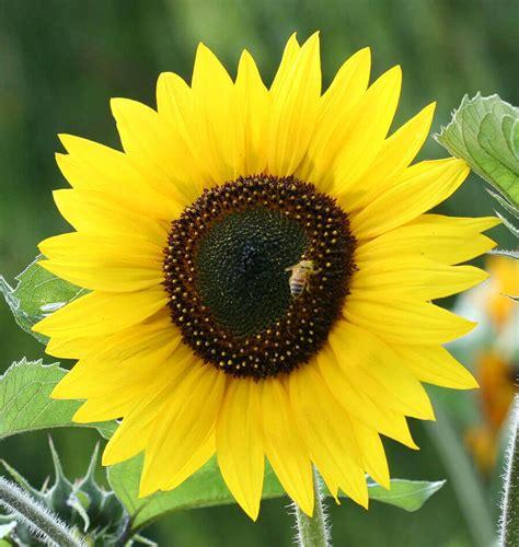 Sunflower S 1 ornamental sunflower seeds 100 images firecracker f1