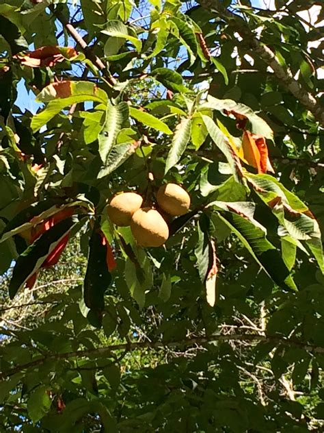 nc fruit trees identification what is this fruit tree found in high