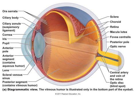 diagram mata eye anatomy 100 more photos