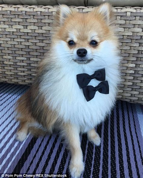 kong the pomeranian pom pom chewy becomes hit by posing in fancy dress daily