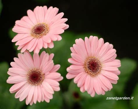 gerbera colors 20 best gerberas rosa images on pink flowers