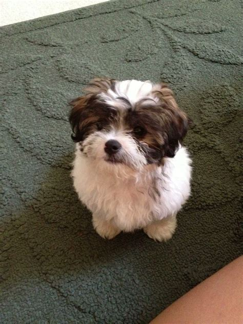shih tzu havanese puppies havanese shih tzu mix cuteness that deserves its own board pinter