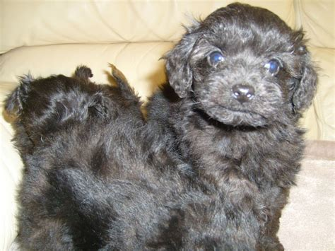 shih tzu kent shih tzu x poodle for sale kent dogs in our photo