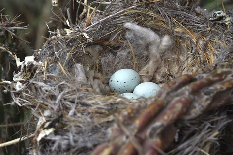 house finch eggs pictures birds use cigarette butts for chemical warfare against