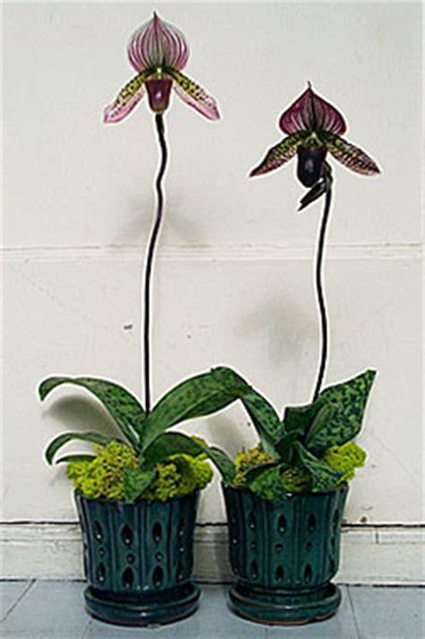 paphiopedilum collusum hybrid