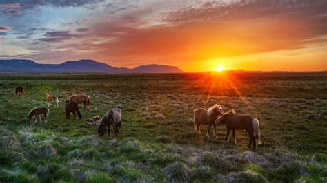 icelandic horse wallpaper  desktop mobile