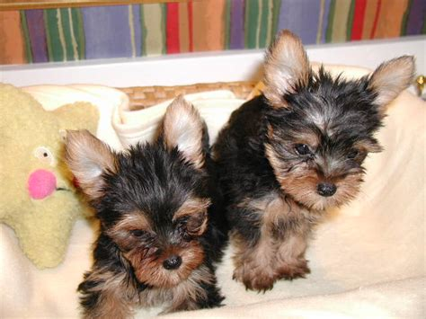 yorkie puppies for sale in birmingham al pets free classified ads