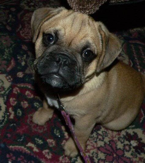 bulldog pug mix for sale the world s catalog of ideas