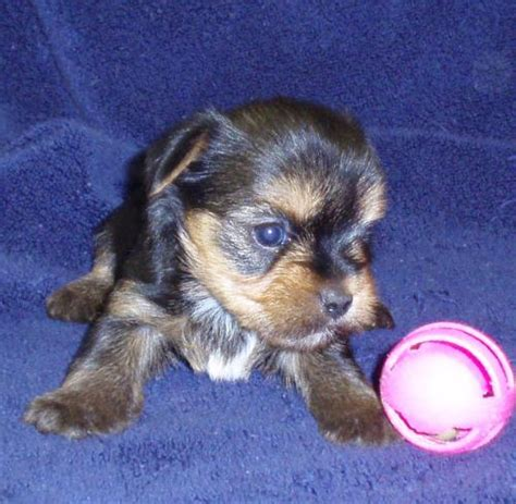 teacup yorkie florida adorable teacup yorkie puppies for free adoption florida 27814930 breeds