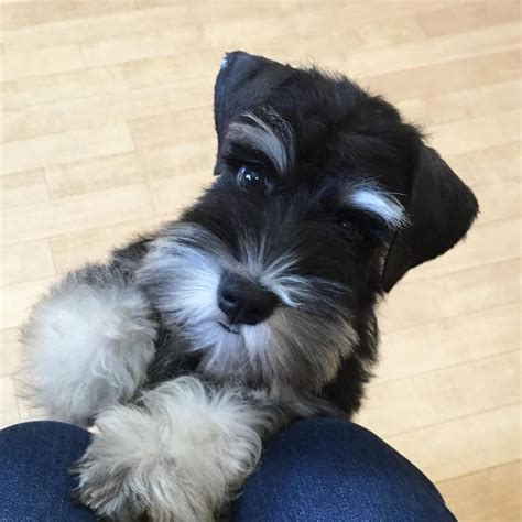 how to give a miniature schnauzer puppy a first haircut ehow 2631 best cute schnauzers images on pinterest schnauzer