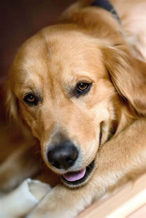 beautiful golden retriever beautiful golden retriever beautiful and dogs pinter