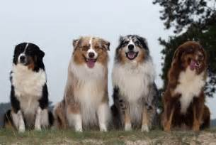 australian shepherd colors musings of a biologist and lover mismark study
