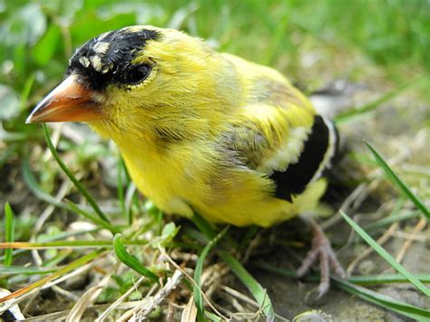 american goldfinch fantastic pet encyclopedia uk