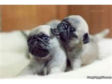 pug puppies for adoption in pa wanderful pug puppies for adoption animals dixonville pennsylvania