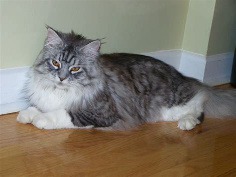 File:Maine Coon cat Toronto home   Wikimedia Commons