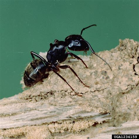 Termite Or Pavement Ants
