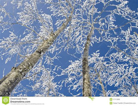frosty forest royalty free stock frosty trees stock image image of winter austria